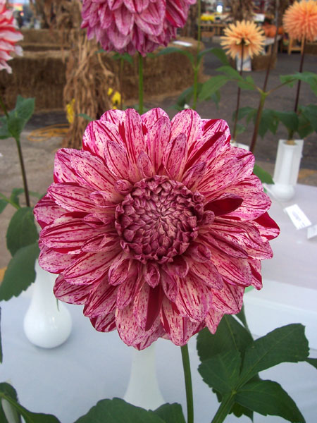 First Place Dahlias in the Dahlia Society of Ohio Annual Competition ...