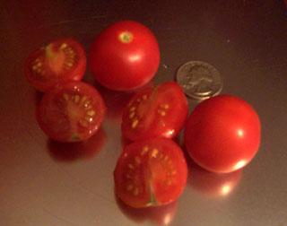 Crazy Cherry Tomato