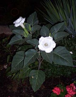 Datura in Bloom