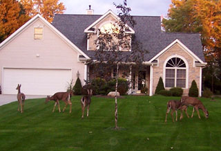 Herd of deer in suburbia