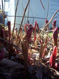 Peonies in Spring