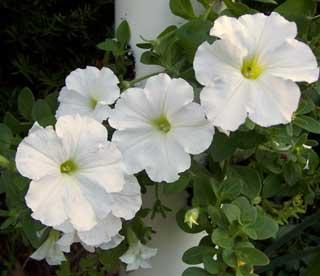 white petunia