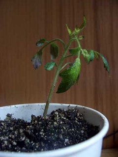 Tomato seedling with a phosphorus deficiency