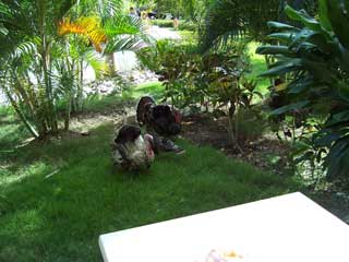 Turkys in the garden