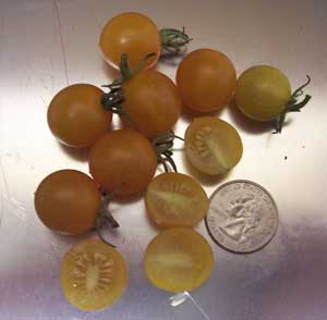 Clementine Tomato
