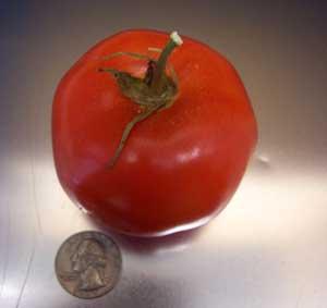 Dona Tomato