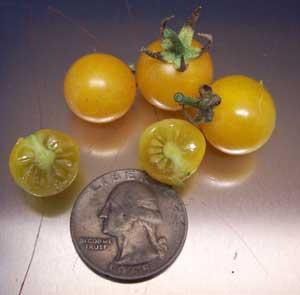 Golden Pearl Tomato