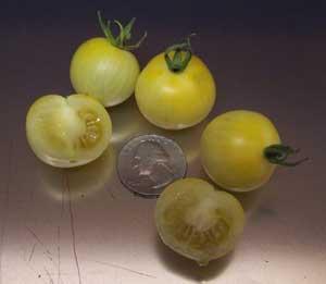 Mirabelle Blanche Tomato