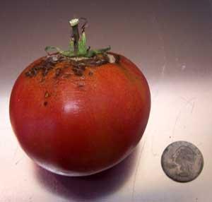 Homesweet Tomato