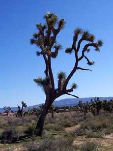 Joshua Tree small