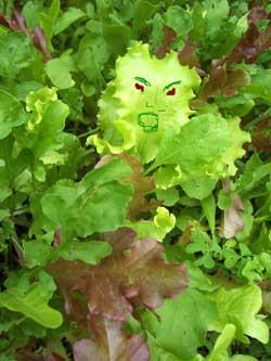 Zombie Lettuce