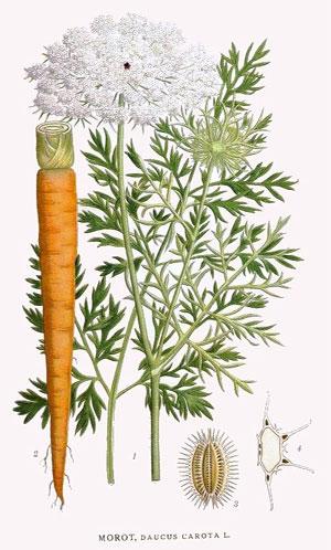 Carrot Botanical Print