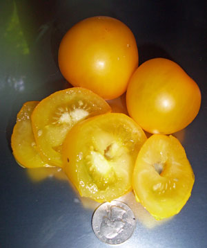 yellow perfection tomato