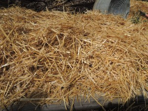 potato bed in straw